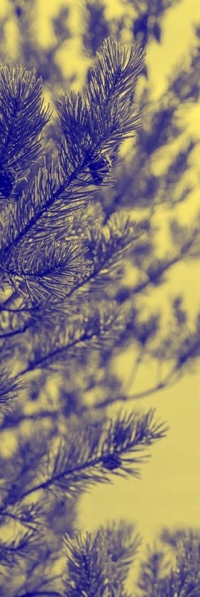 close crop of pine tree